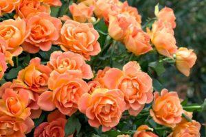 rozes-geltonos