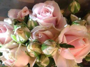 rozes-svelnios