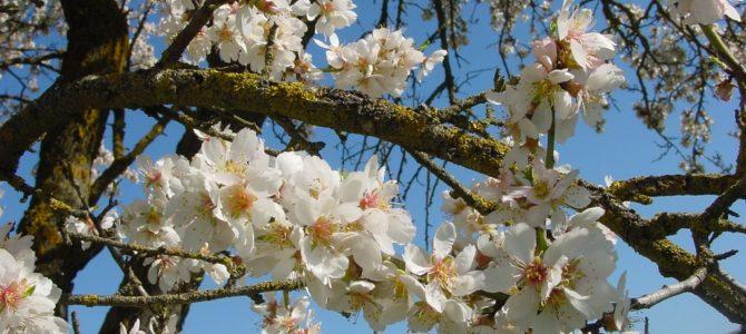 Tu Bishvat – Medžių šventė šiemet sausio 28 dieną